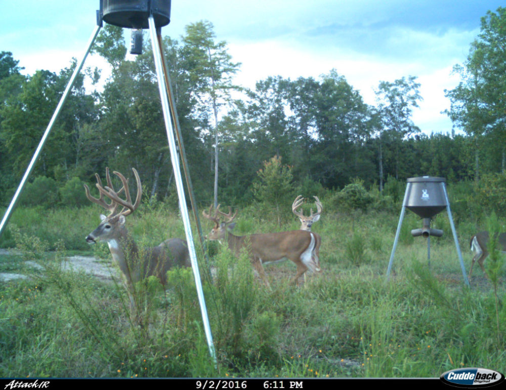 One buck under feeder, two bucks looking out