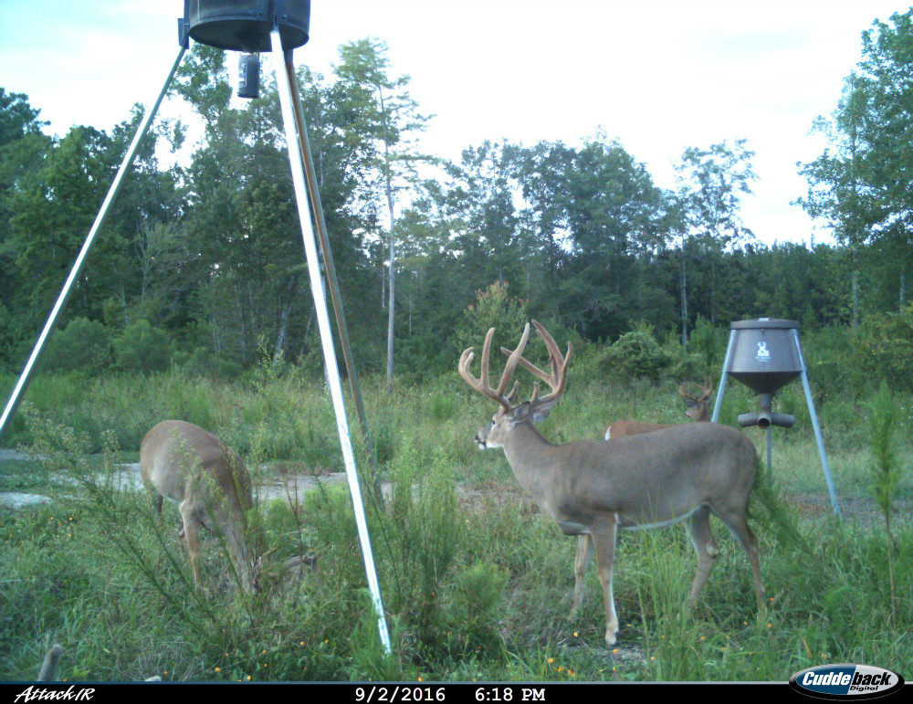 Three bucks at two feeders, one deer eating grass