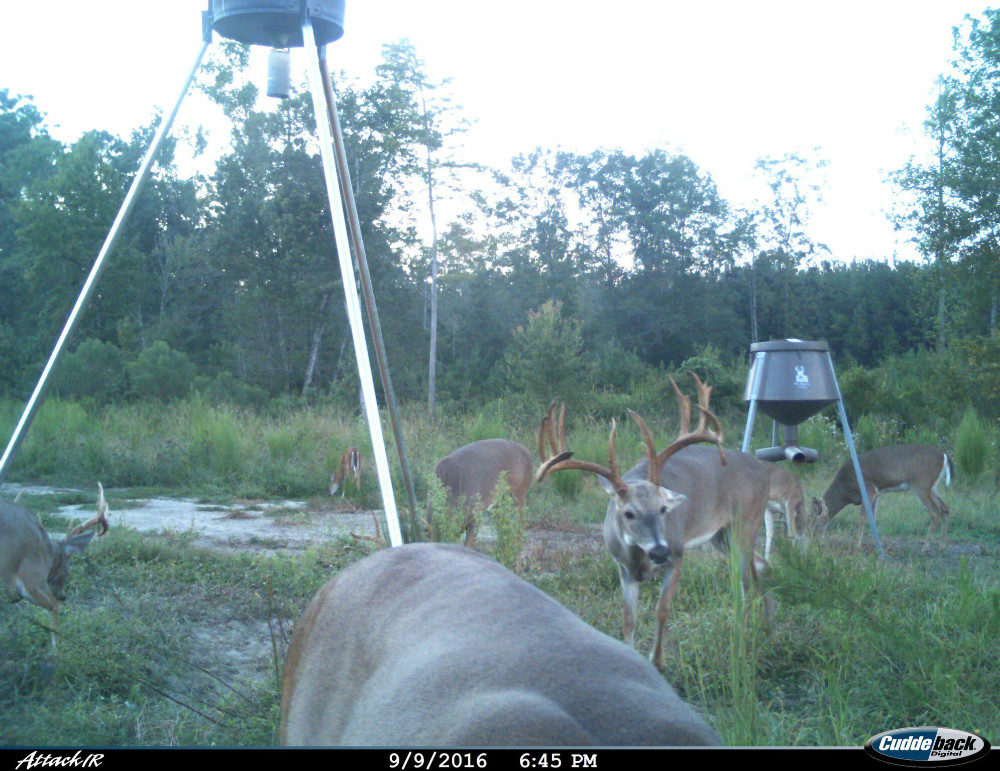 Six deer at two feeders, four bucks, one doe and one fawn