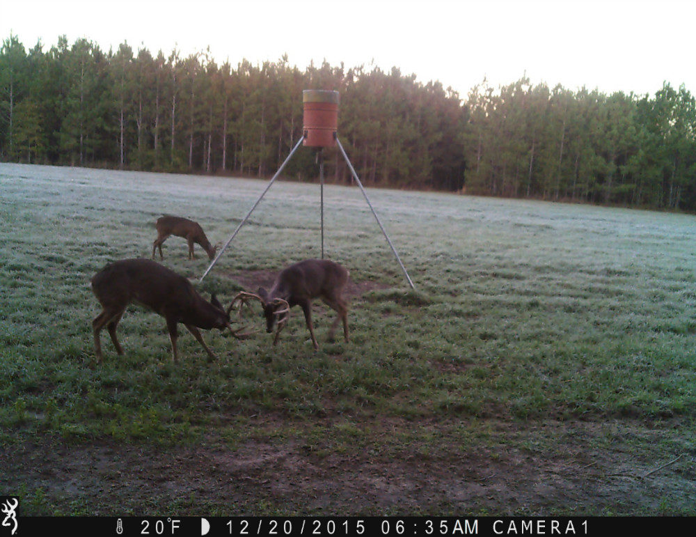 Two bucks playing in front of feeder and a young buck