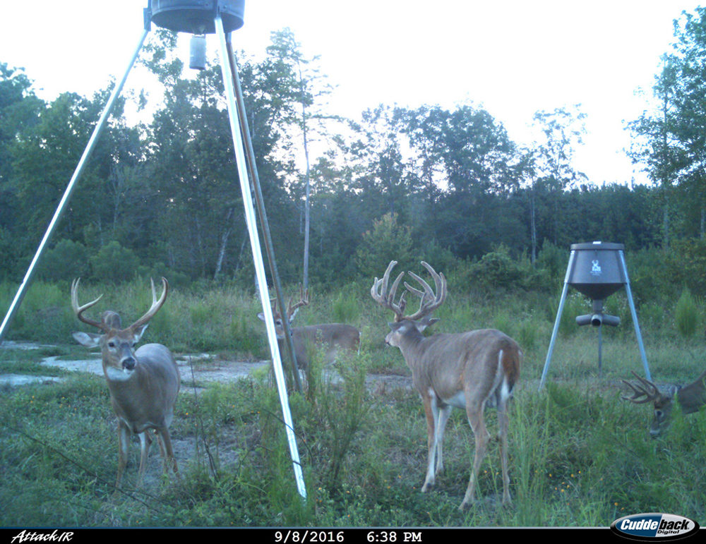 Four bucks at feeder tripod looking forward in tall grass