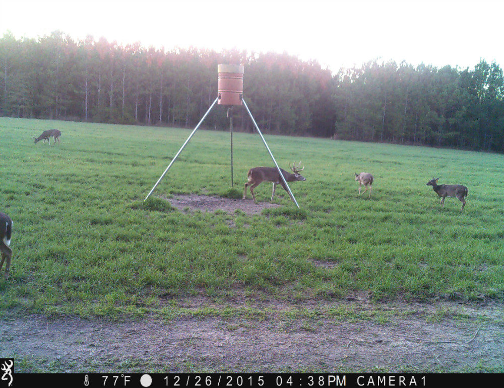 One buck under feeder tripod and three does in field